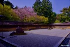 龍安寺 石庭・桜