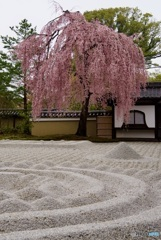 高台寺 枝垂桜と砂紋