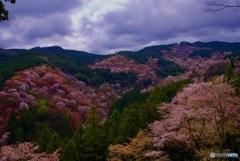 吉野山 一目千本