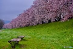 背割堤 桜並木