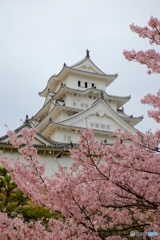 姫路城 大天守と桜
