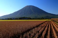 羊蹄山と豆畑