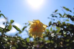 日光浴するバラ