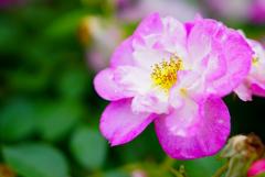 様々な薔薇5