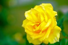様々な薔薇4
