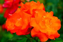 様々な薔薇3