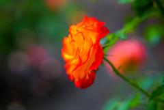 様々な薔薇1