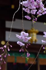 天神さんの桜