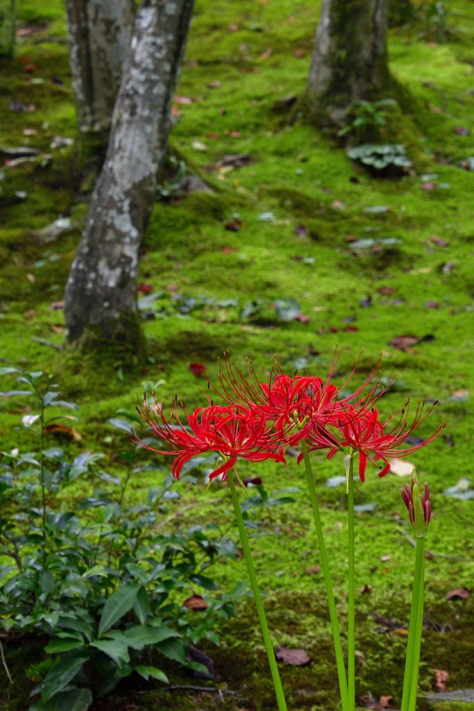 苔庭の彼岸花