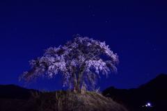 星空の地蔵桜