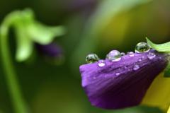 花の涙<パンジー>