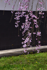 醍醐の花見ーⅡ