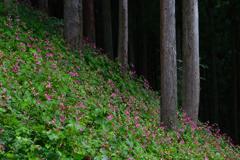 森の秋海棠ーⅠ