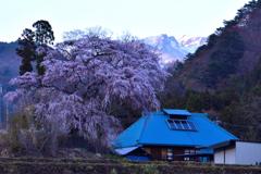 里山の枝垂桜