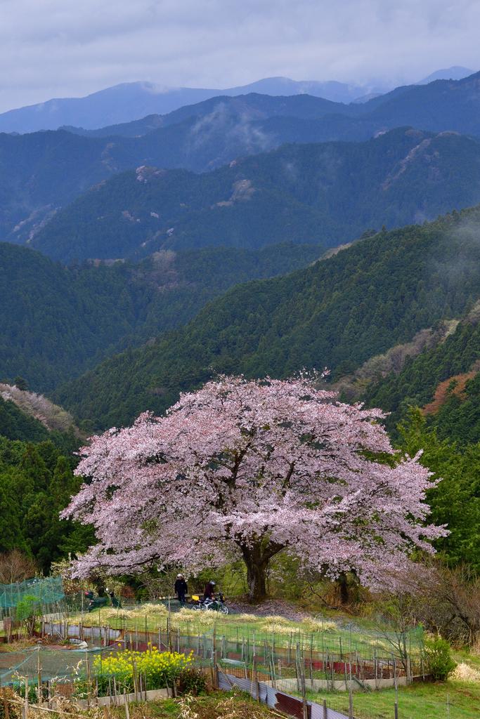 峠の一本桜