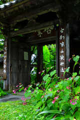 山寺の秋海棠ーⅠ
