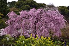 古都の桜<法金剛院>ーⅡ