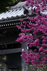 鐘楼と寒緋桜