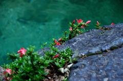 渓流に咲く岩躑躅ーⅦ