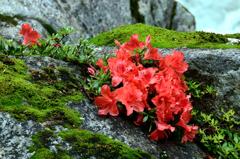 渓流に咲く岩躑躅ーⅡ