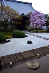 枯山水庭園の桜
