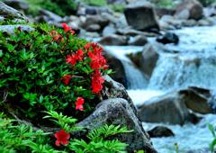 渓流に咲く岩躑躅ーⅢ