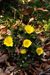 春の足音<福寿草>