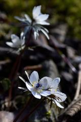 春の訪れ<節分草>-Ⅱ