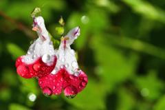 梅雨に咲く<ホットリップス>