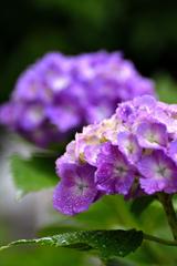 雨の語らい<紫陽花>