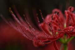 秋雨の彼岸花ーⅡ