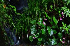 森の秋海棠ーⅡ