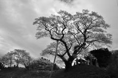 吉野辺の種蒔桜