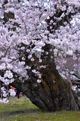 醍醐の桜ーⅡ