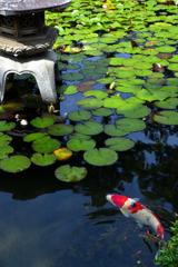 錦鯉と睡蓮
