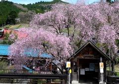 バス停の枝垂桜