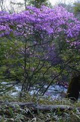 渓流に咲く-Ⅲ