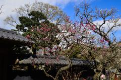 古都鎌倉散策<紅白の梅>