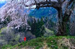 野辺の地蔵桜