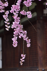 古都の桜<法金剛院>ーⅢ