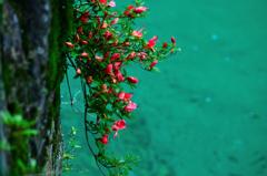 渓流に咲く岩躑躅ーⅥ