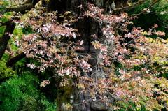 古木の山桜