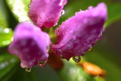 五月雨<ツツジ>