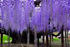 紫のシャワー