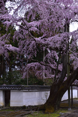 醍醐の花見ーⅢ