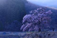 黄昏の地蔵桜