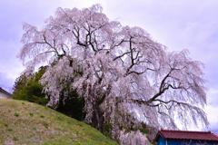蛇盛塚の枝垂桜