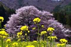 山村の桜<黒部>