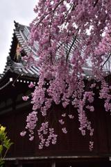 古都の桜<法金剛院>-Ⅰ