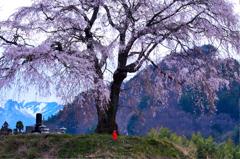 上発知の枝垂桜